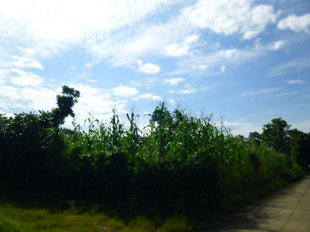 Some maiz/corn growing on some of Jorge's land.