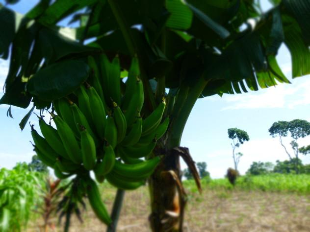 My favorite picture from the trip; a bunch of unripened bananas about ready to be cut and sent to market.