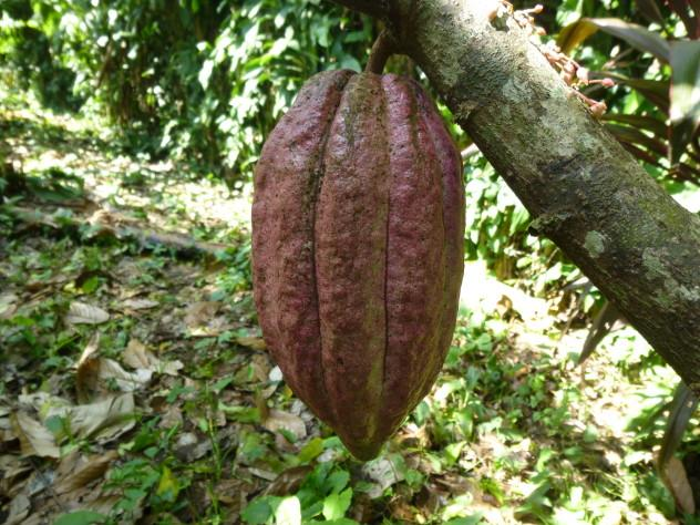 A trinitario cacao pod a few weeks from being picked.
