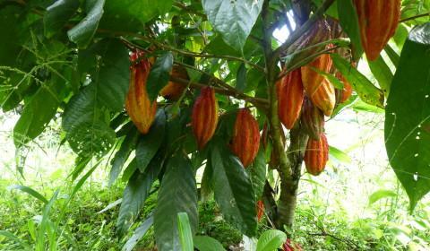 Cacao growing on a tree in Ecuador.