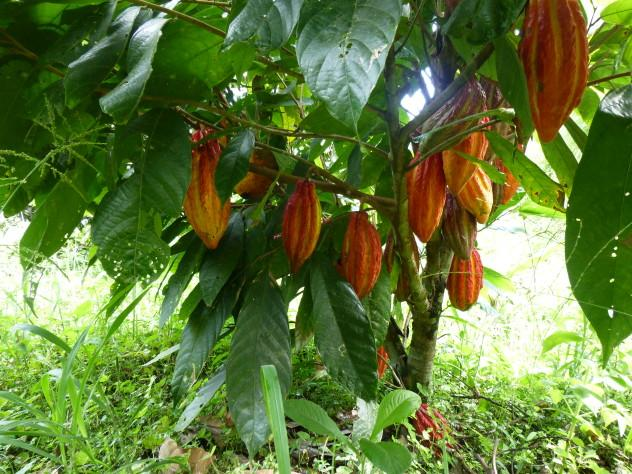 Cacao growing on a tree in Ecuador.