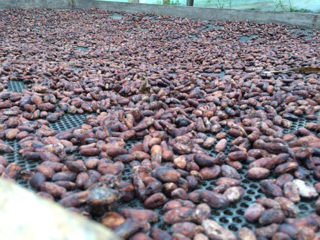 Cacao drying at the Chocolate Facory in Mindo