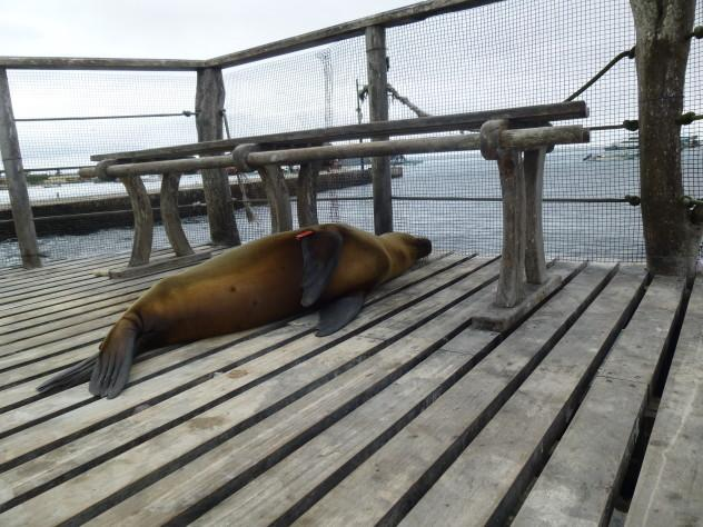 A Tagged Sea Lion