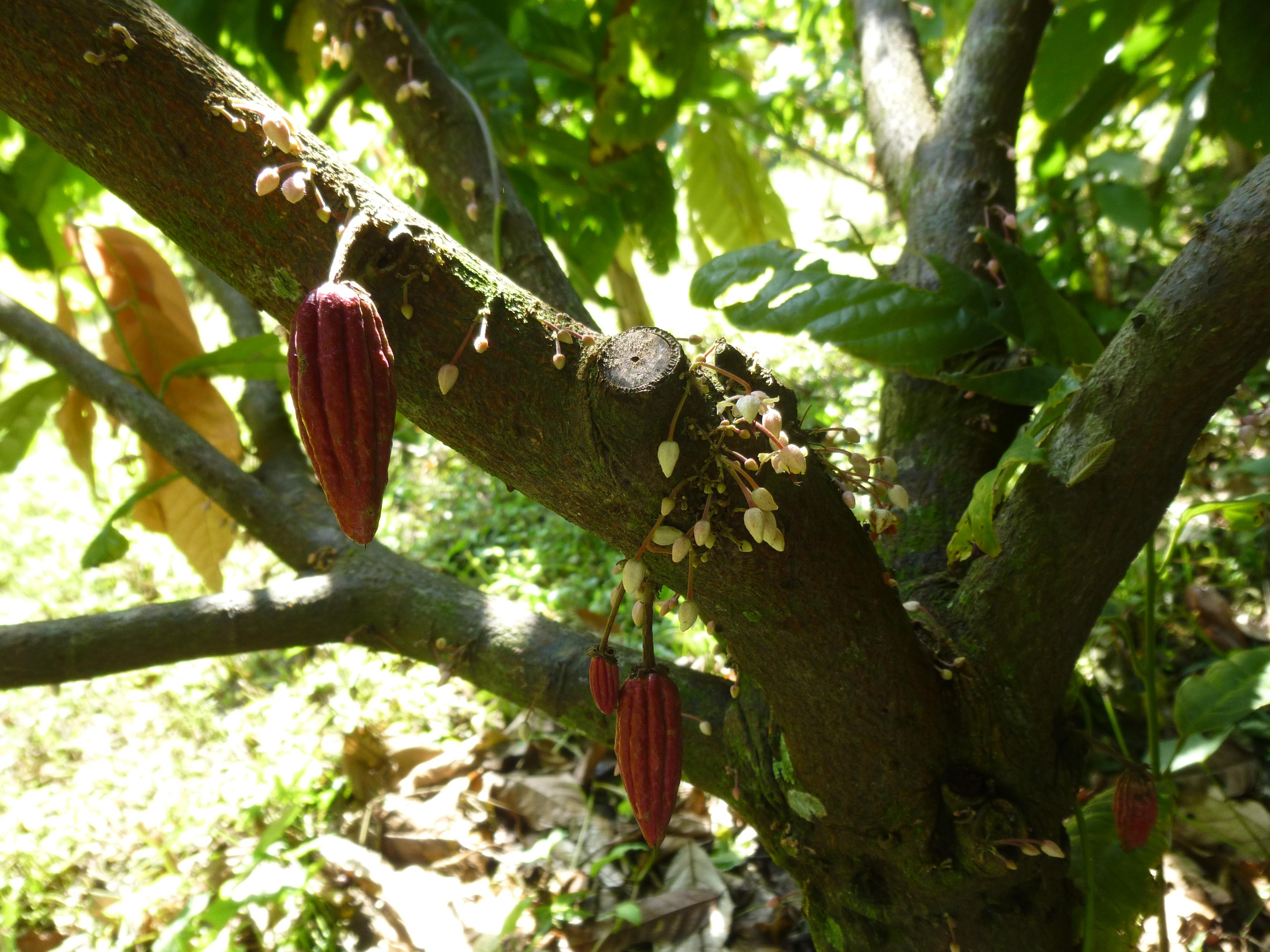 Guatemala Cacao Pods on Tree - Interview: Emily Stone, Co-Founder Of Uncommon Cacao