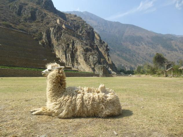 A llama in front of the town's main ruins. | | | The most comprehensive guide out there to Ollantaytambo, Peru, a small town on the way to Machu Picchu that I had the pleasure to live in for a few months! | #Ollantaytambo #machu Picchu #sacred #valley #valle #sagrado #Travel #Cusco #cuzco #guide #itinerary #What #to #do #eat
