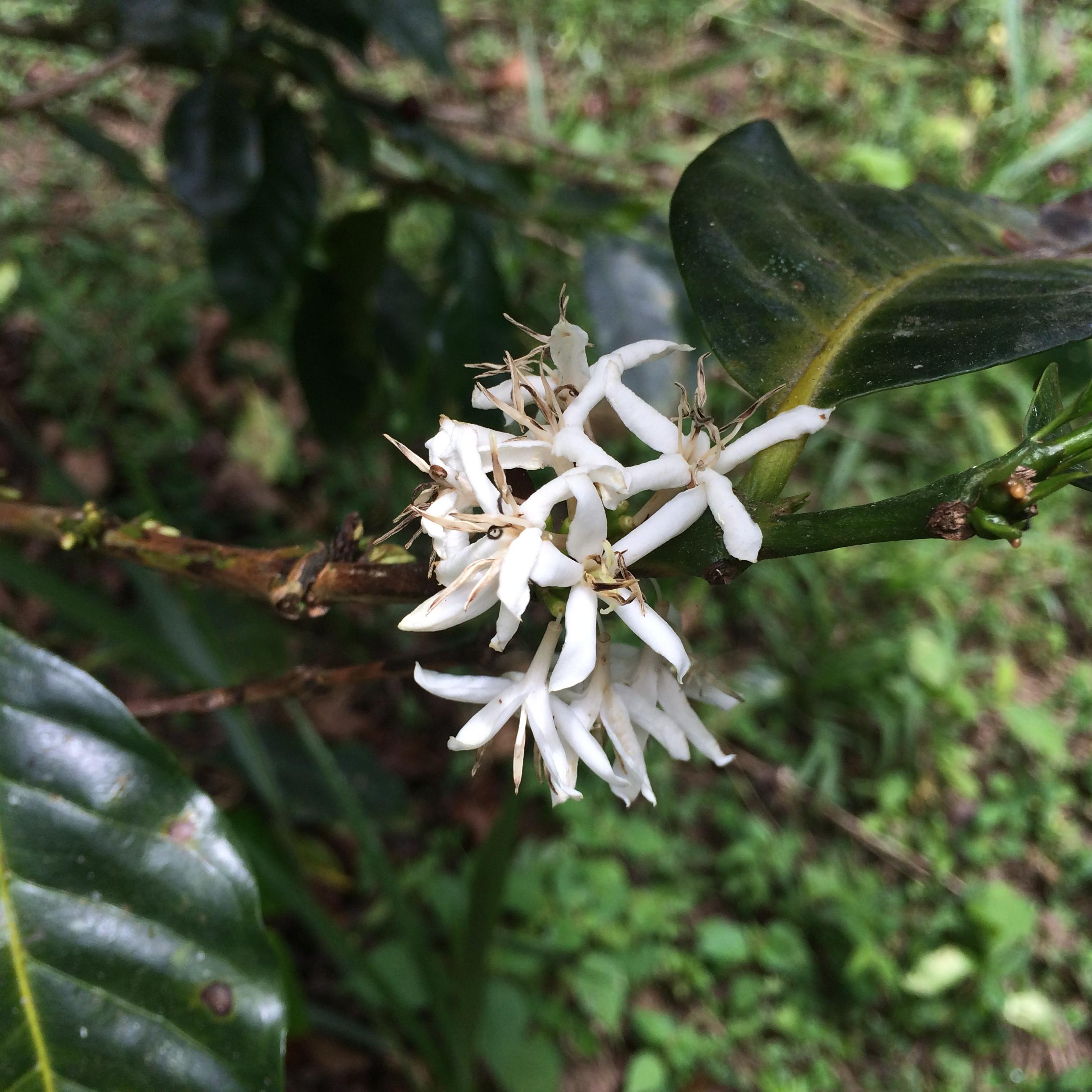 iPhone 039 - Coffee Farming: Ignorance Can Be Bliss