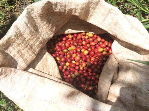 The day's coffee harvest.