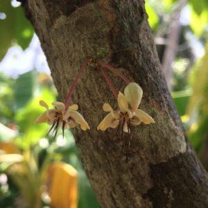 Cacao flowers in bloom on the trunk of a cocoa tree.