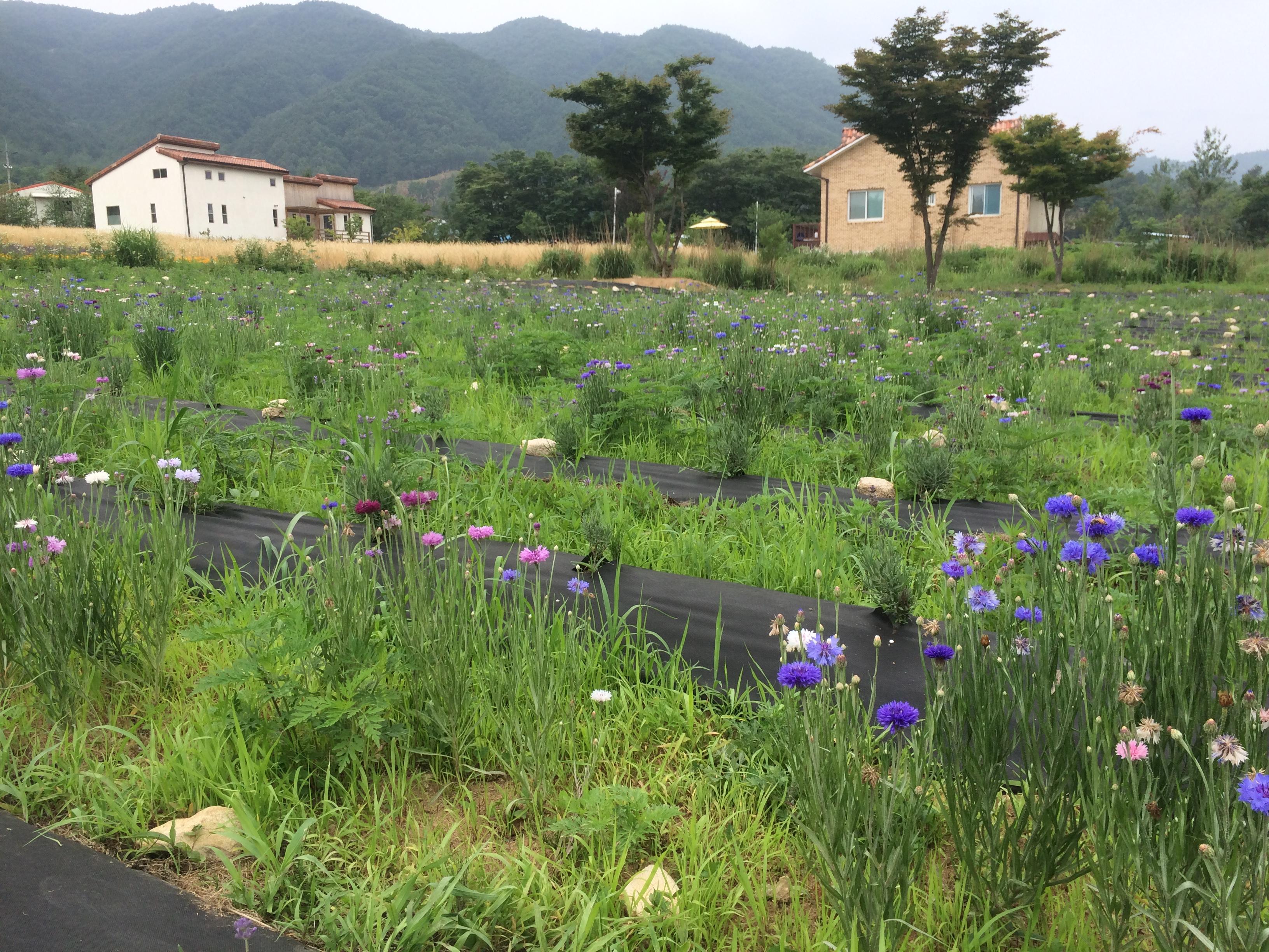 Daytrip From Seoul: Hani Lavender Farm (하늬 라벤더 팜)