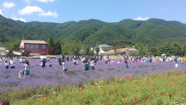 20190622 104745 632x356 - Daytrip From Seoul: Hani Lavender Farm (하늬 라벤더 팜)