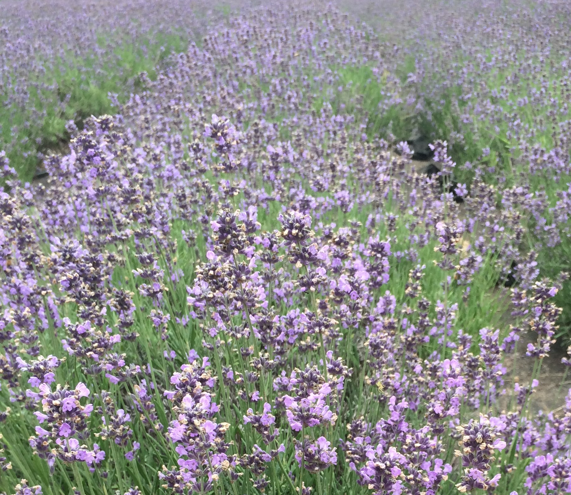 IMG 1435 2 - Daytrip From Seoul: Hani Lavender Farm (하늬 라벤더 팜)