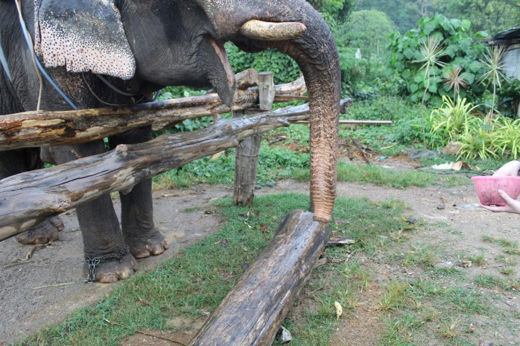 Thep the elephants with an open mouth in Krabi, Thailand