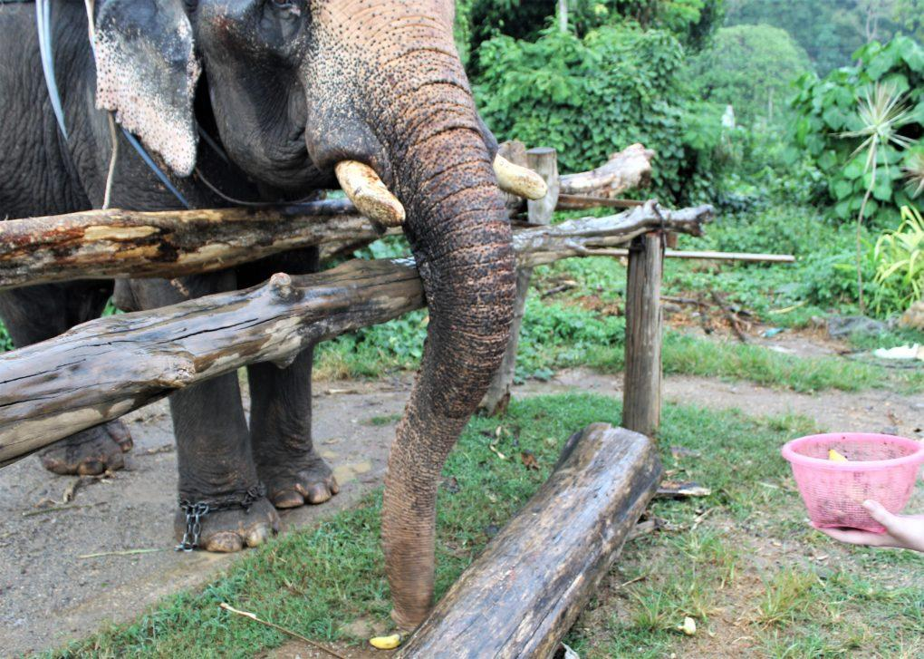 Thep the elephant searching for a banana on the ground in Krabi, Thailand
