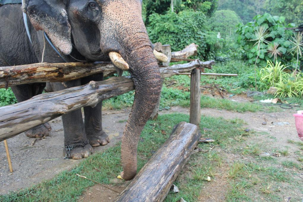 Thep the elephant finding a banana on the ground in Krabi, Thailand