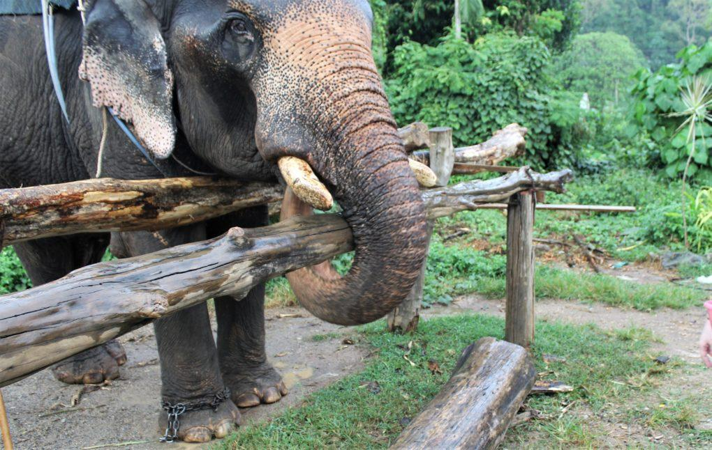 Thep the elephant eating a banana in Krabi, Thailand