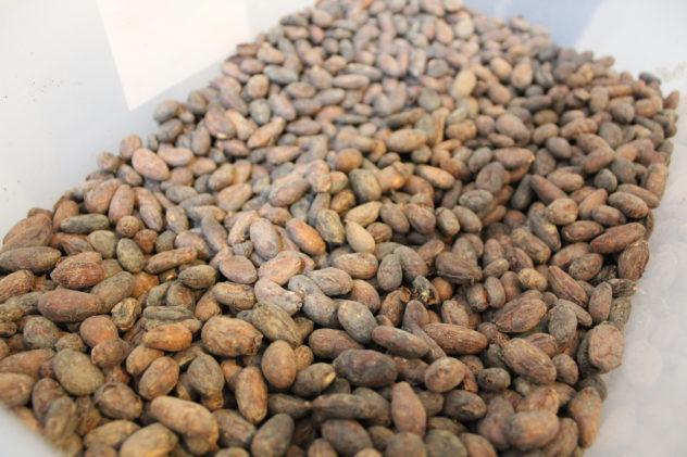 Vietnamese cacao beans recently roasted in Boehnchen craft chocolate factory in Bangkok, Thailand