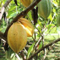 20190209052424 IMG 5225 200x200 - Oahu Chocolate Guide: 13 Hawaiian Chocolate Destinations