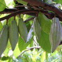 IMG 5277 200x200 - Hawaiian Chocolate & Cacao Culture