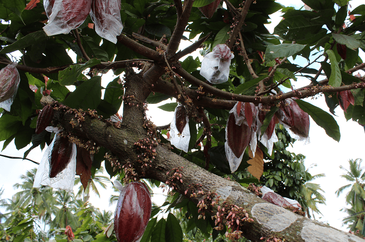 bagged cacao pods davao city philippines 1 - Chocolate On The Road: The Philippines Part 1