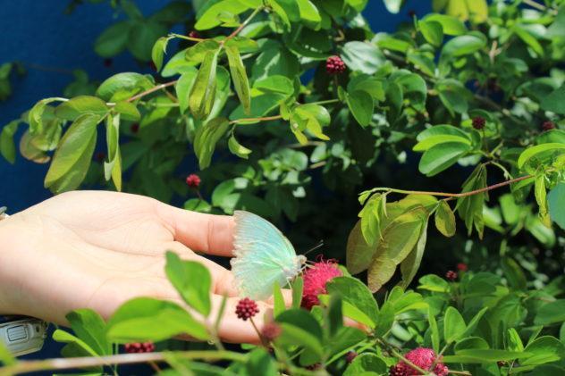 Azzan Vietnam Cocoa Plantation Visit Holding Iridescent Butterfly