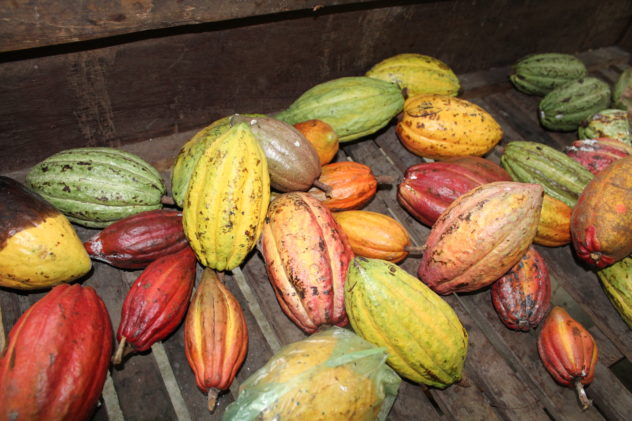 Azzan Vietnam Cocoa Plantation Visit Fresh Cacao Pods