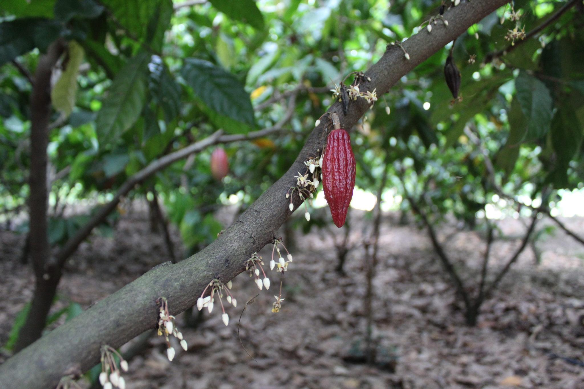 How to Tour a Cocoa Plantation in Vietnam | Dame Cacao