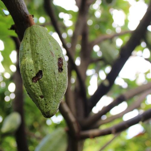 Taiwan Cacao pod manchada -