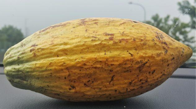 cacao pod forastero taiwan car